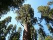 現存する地上最大の生物が住まう森、セコイア国立公園